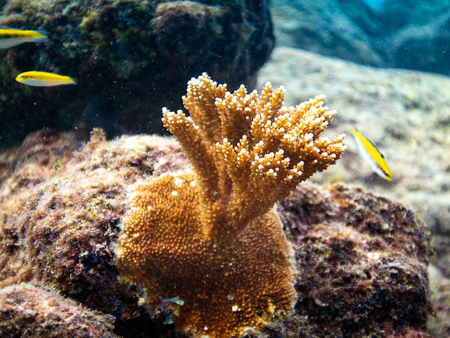 young, raised elkhorn coral, Curacao (Paul Selvaggio)