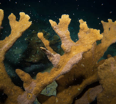 Elkhorn coral spawning (Paul Selvaggio)