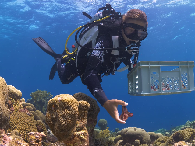 Research Technician Kelly Latijnhouwers is transfering coral babies onto a reef. (Reef Patrol)