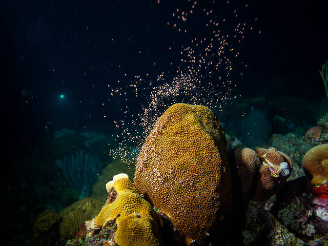 coral spawning, Caribbean (Paul Selvaggio)
