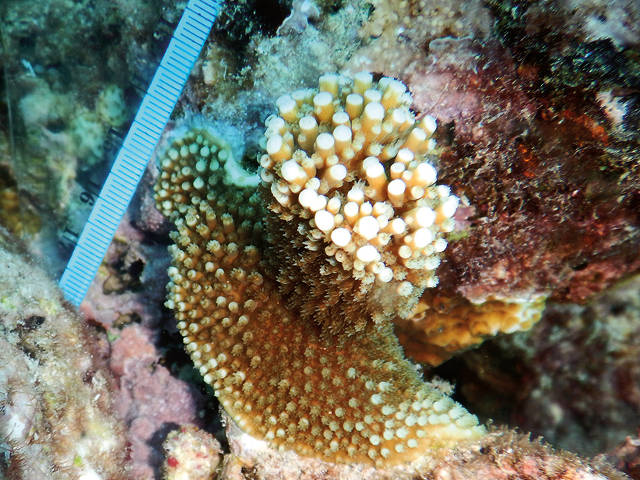 Outplanted, raised baby coral, SECORE International