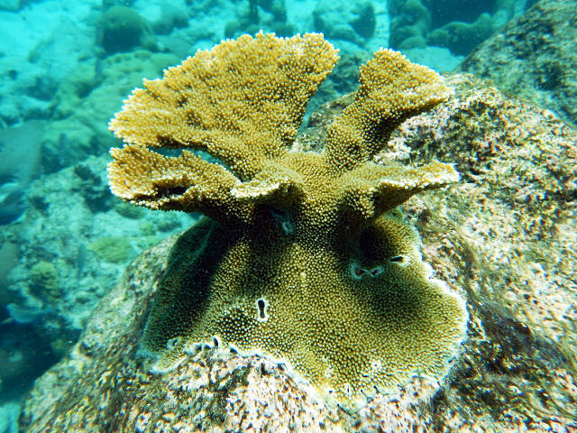4 year old outplated elkhorn coral (Skylar Snowden)