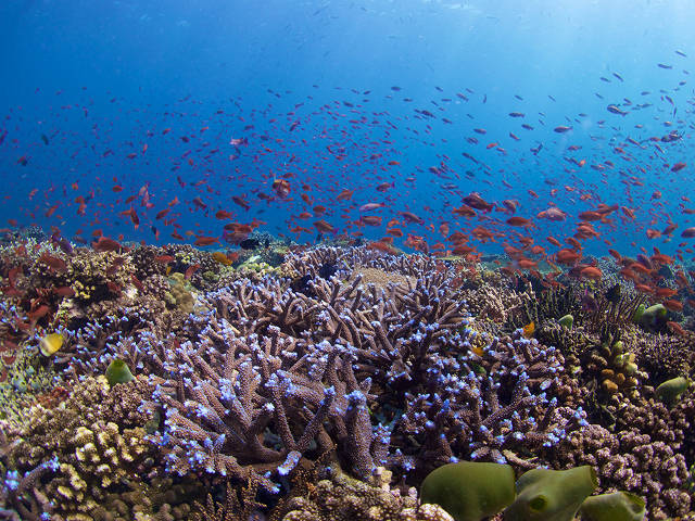 A reef bursting with life - Coral Triangle (Bart Shepherd)