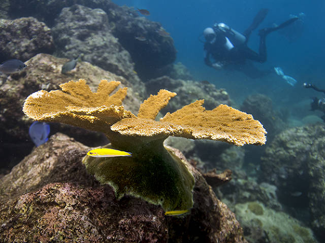 raised and now adult elkhorn coral on the reef (Paul Selvaggio)