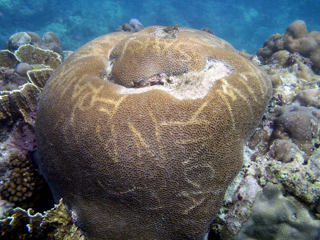'Graffiti' on coral (Dave Burdick)