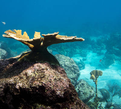 mature outplanted coral