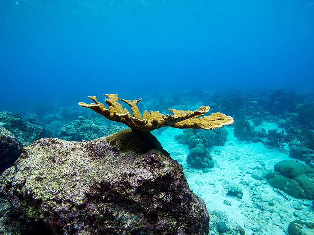 Adult, raised elkhorn coral on the reef, Paul Selvaggio