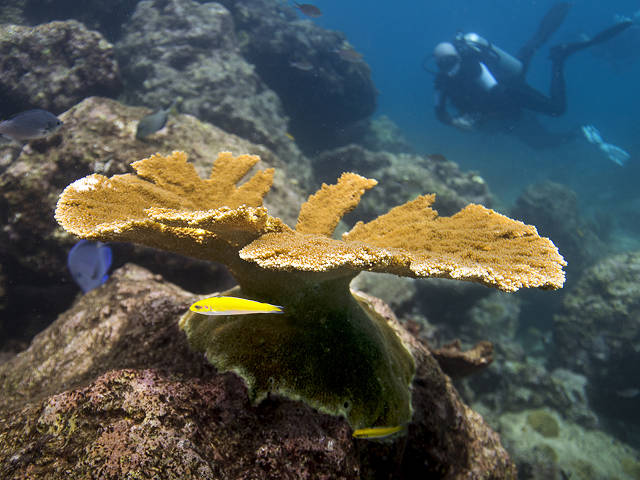 Raised elkhorn coral on the reef, 5 years and an adult (Paul Selvaggio)