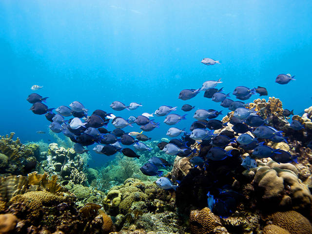 Coral reef and surgeon fish (PaulSelvaggio)