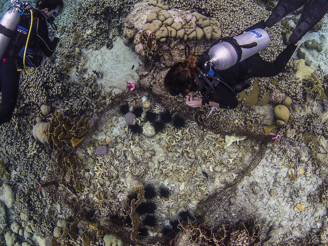 fenced Diadema sea urchins and baby corals on substrates (Zach Ransom)