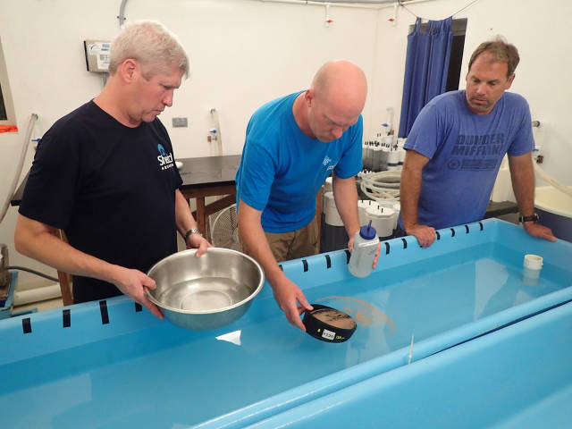 Mark Schick (Shedd), Dirk Petersen (SECORE) & Craig Dahlgren (PIMS) adding embryos to a tank during 1st workshop 2016