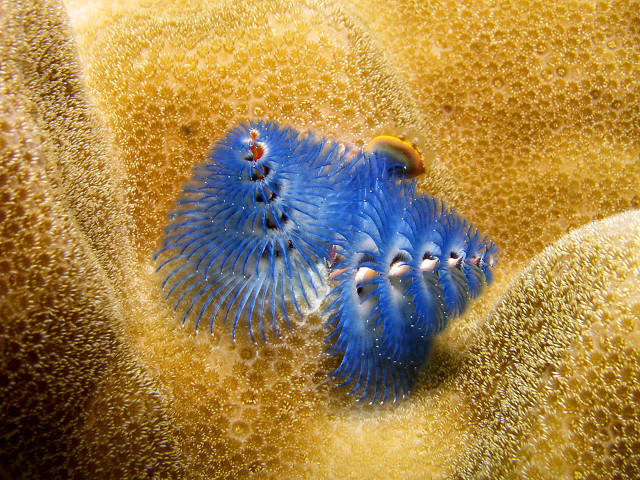 Christmas tree worm (Dave Burdick)