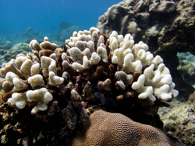 coral eaten by Acantaster (Paul Selvaggio)