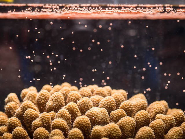 coral spawning in the lab (Paul Selvaggio)