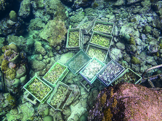 Coral substrates are conditioned before use, Paul Selvaggio